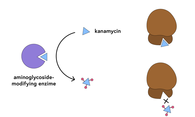 Schematic of kanamycin fitting into a groove on an enzyme; in the upper section the unmodified antibiotic fits into a groove on a ribosome, and in the lower section the antibiotic is decorated with methyl groups and can no longer bind to the ribosome