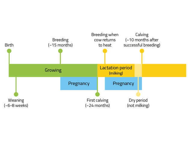 Growing period: Birth, Weaning ~6-8 weeks, Breeding (with bull or artificial insemination) ~15 months, First Calving at ~24 months. Lactation (milking) period with the aim of having one calendar year between calvings: Pregnancy: breeding when cow returns to heat (pregnancy), Pregnancy: Dry period (not milking), Calving at ~10 months after successful breeding, Cycle repeats