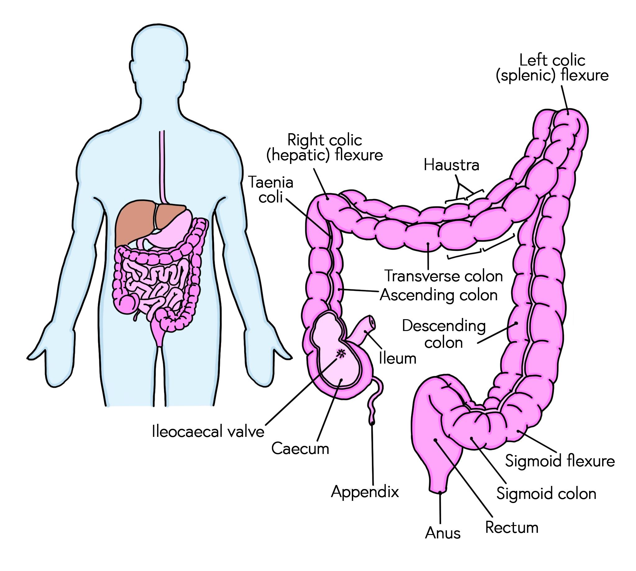 Anatomy of the large bowel