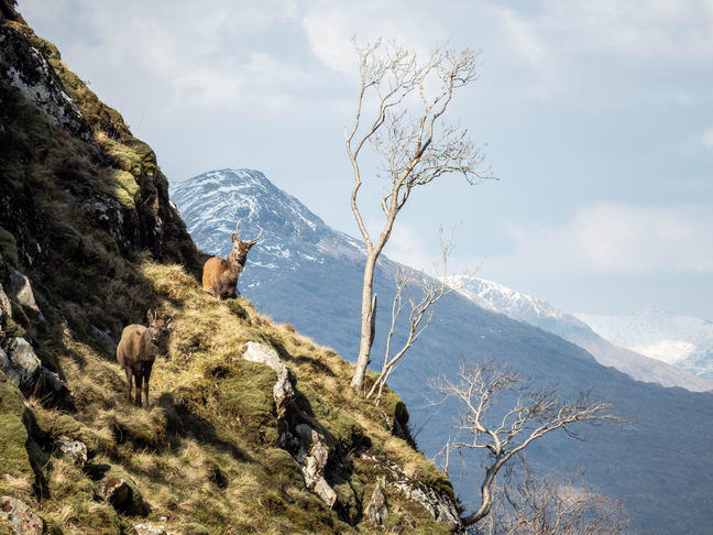 Scottish deer on a mountaintop