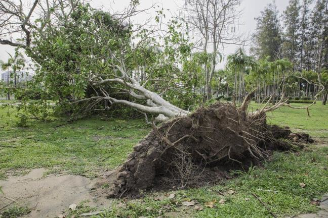 Photograph of a large tree that has been blown over and uprooted