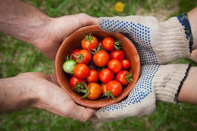 ungloved hands passing a bowl of tomatoes to someone else's gloved hands