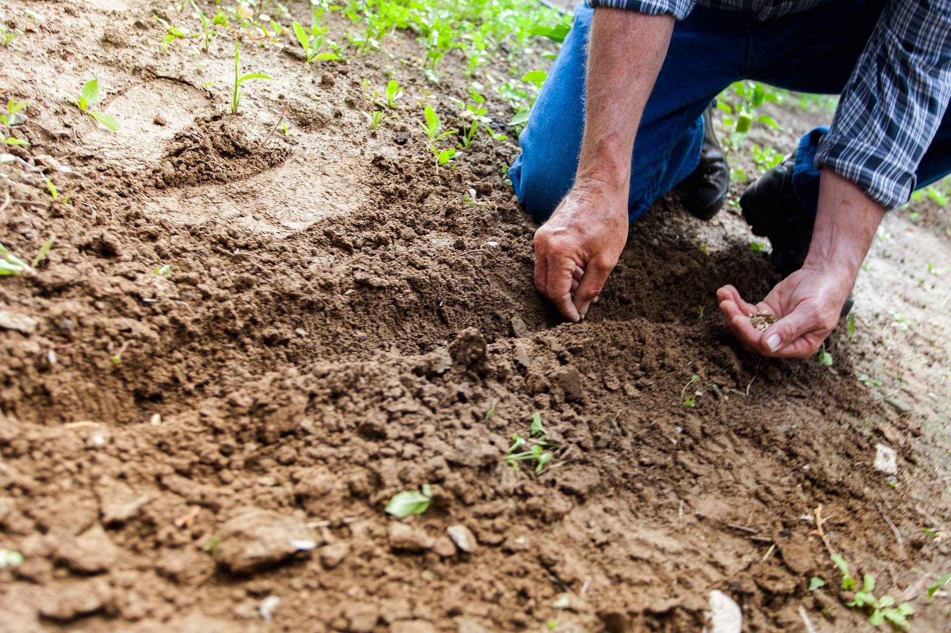 A photo of a gardener sowing seeds into soil