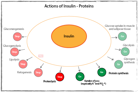 Actions of insulin on proteins diagram.