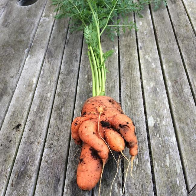 Wonky carrot with five ends at different sizes and direction