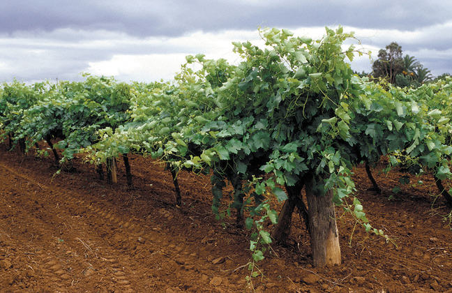 A photo of young grape vines growing in a field