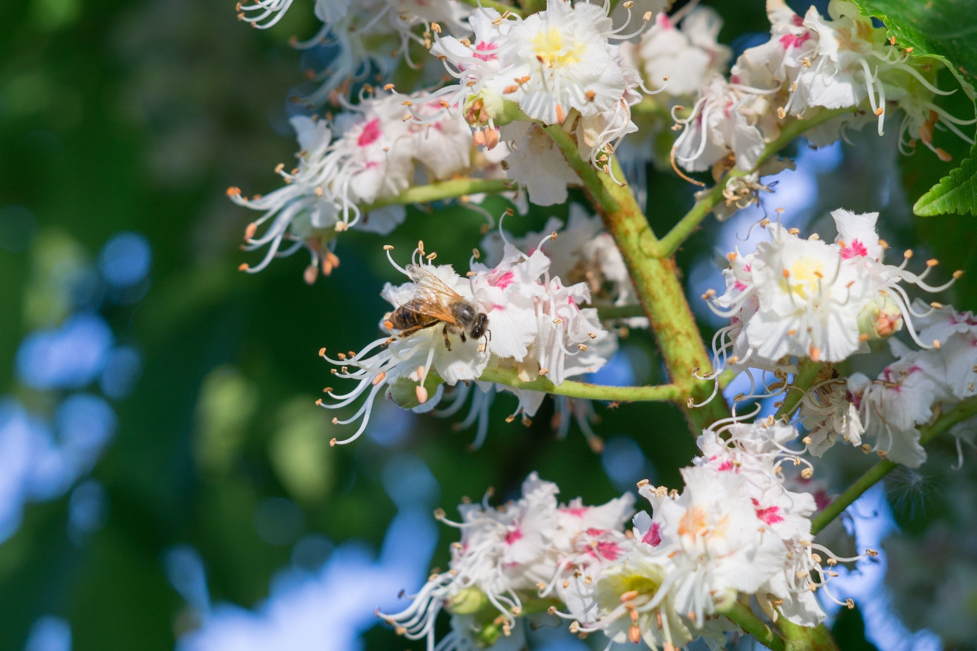 A close up photograph of blossom on a tree, with a bee on one of the flowers