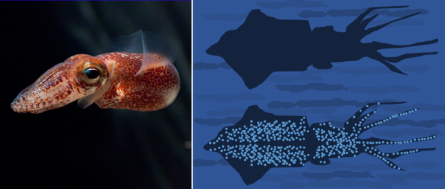 The image shows the squid Euprymna scolopes, Hawaiian bobtail squid, swimming in the water column on the left and an illustration of the absence of the Bobtail's shadow on the right