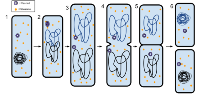 Diagram shows the process of binary fission listed in main body of text