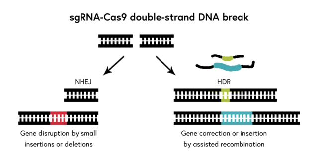 sgRNA-Cas9 double-strand DNA break image