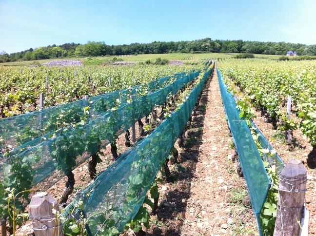 A photograph of a vineyard, a few of the rows of grape vines are covered by protective netting.