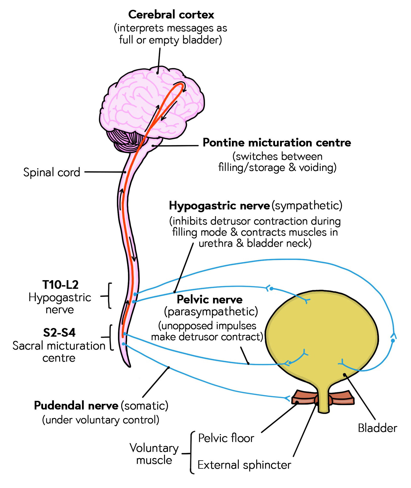 Diagram showing how the bladder and sphincter are innervated