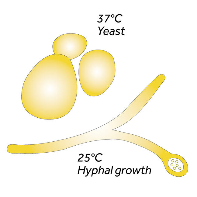 Diagram of yeast and hyphal growth