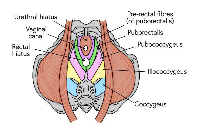 Diagram of pelvic floor muscles