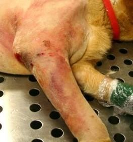 A dog with an acute cellulitis infection on his elbow following orthopaedic surgery.