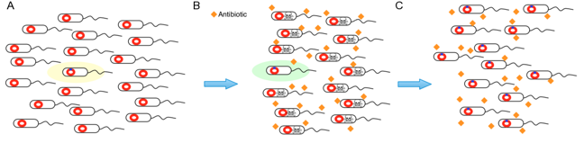 Figure 1A: Population of bacteria, with a highlighted individual carrying a mutation; Figure 1B: Antibiotic kills all the sensitive bacteria, indicated by a skull and crossbones. The highlighted individual from 1A is resistant. Figure 1C: population of resistant bacteria unaffected by antibiotic