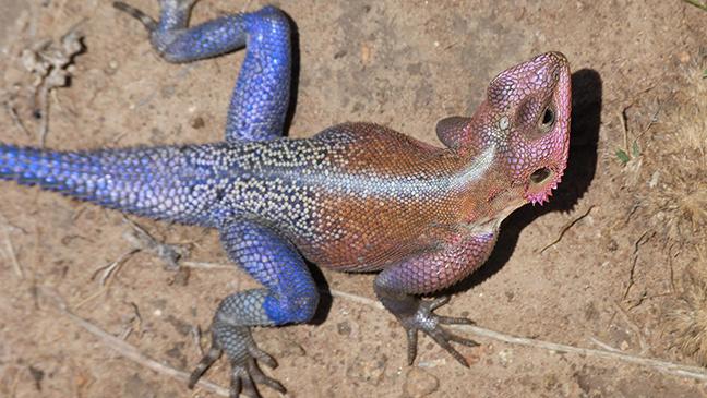 Mwanza Agama lizard