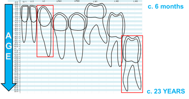 Graph showing the development of the permanent lower dentition against age