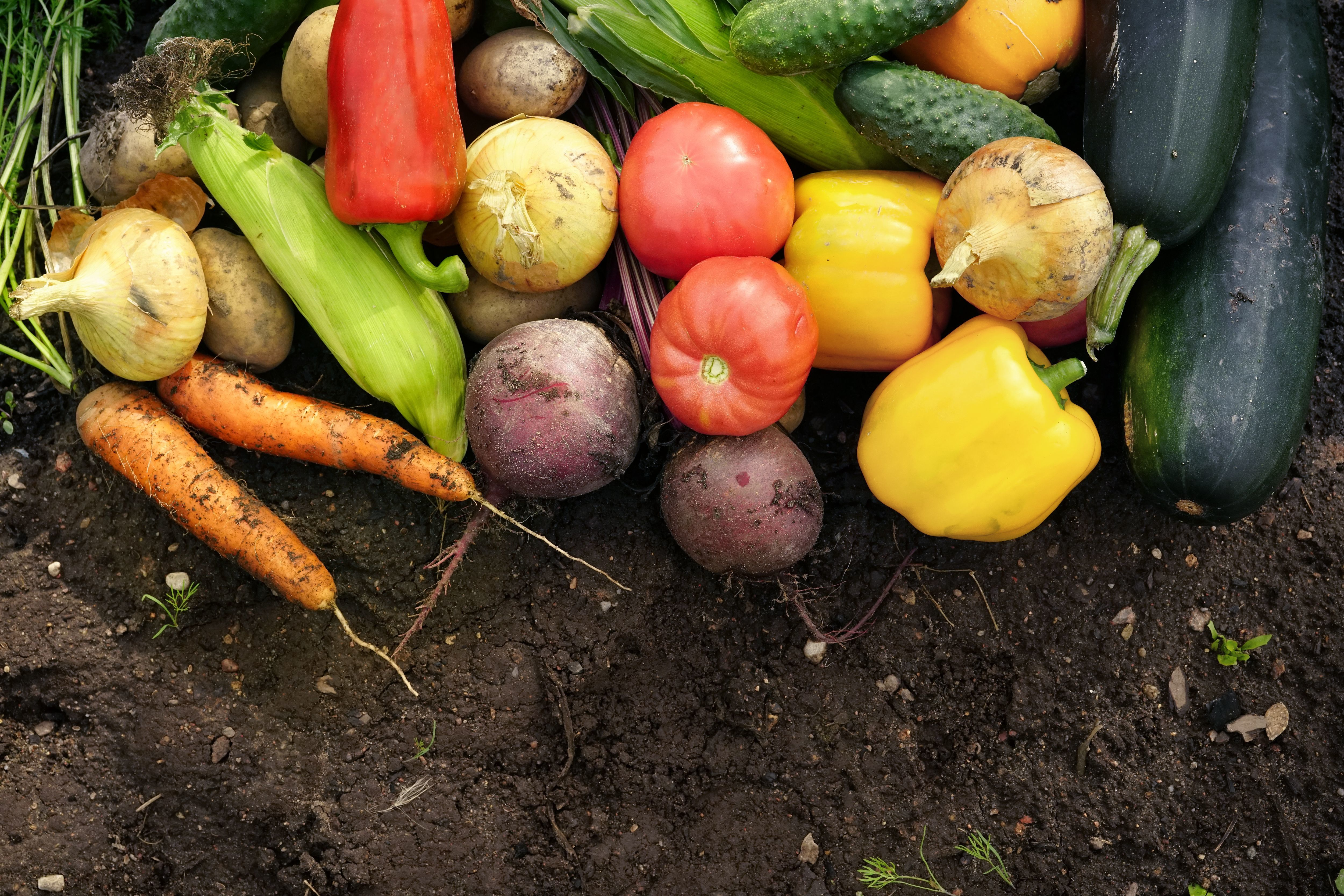 A collection of recently harvested vegetables: onions, carrots, corn, peppers, beetroot, tomatoes, cucumbers and marrows