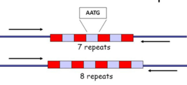 The figure for the genetic markers used in forensics are nothing but the Short Tandem Repeats (TRS, also called microsatellites) as we have previously shown:  a cartoon depicting a Short Tandem Repeat (STR or microsatellite) shown as a short line for one copy of the basic sequence, that is repeated a variable number of times, and this number constitutes the allele name.