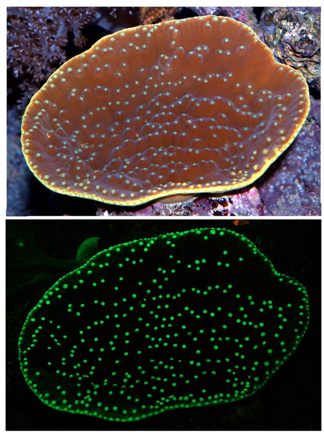 The upper image shows the coral colony as seen under daylight. The lower picture shows the green fluorescence of the coral induced by illuminating the coral with blue light.