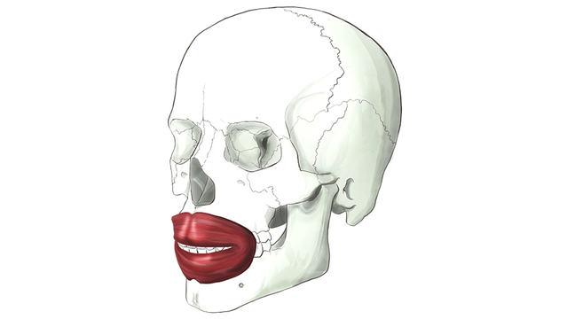 Orbicularis Oris. A circular muscle around our mouth