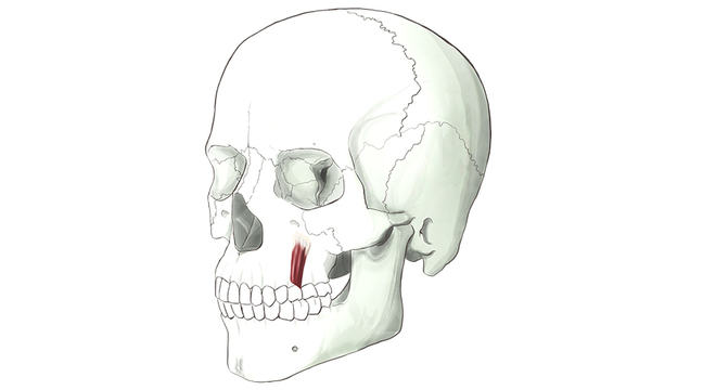 Levator Anguli Oris. Muscles which attach to the corners of the mouth.