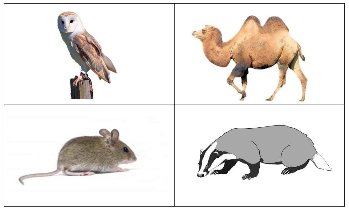Animal sorting cards: barn owl, camel, mouse, badger
