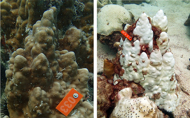 Corals hosting the extreme temperature tolerant symbiont species *Symbiodinium thermophilum* in Saadiyat Reef (UAE) before (left) and after bleaching (right) during the hot summer of 2012.