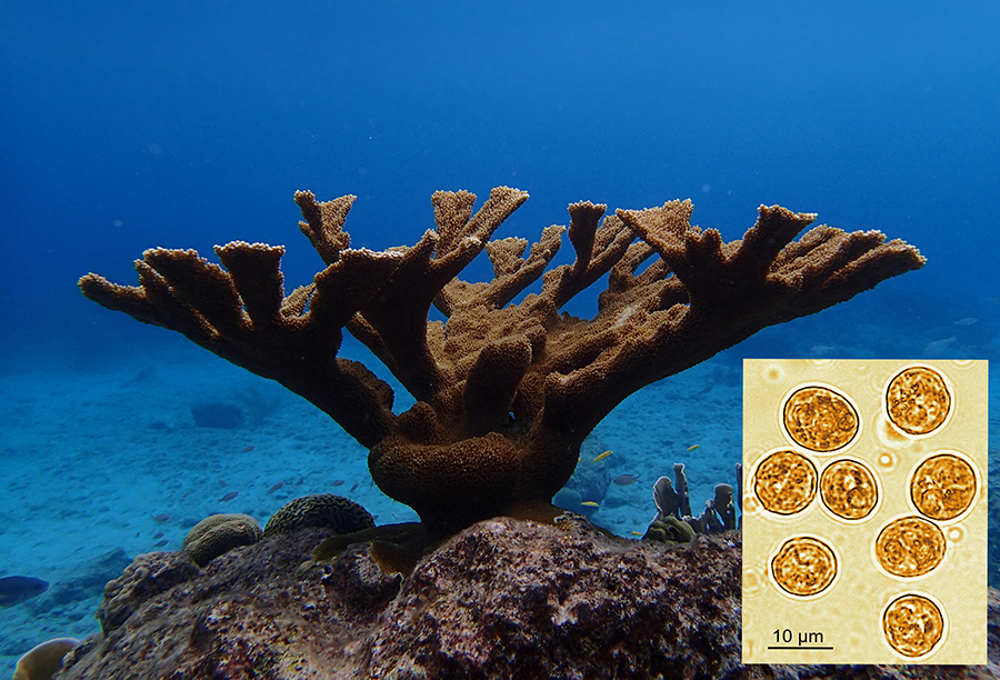 A side view of a large elkhorn coral growing on a rock. The brown colour is caused by the presence of symbiont algae in the coral tissue. The overall shape indicates the presence of the substantial limestone skeleton. The inset shows a microscopic image of the symbiont algae along with a scale bar.
