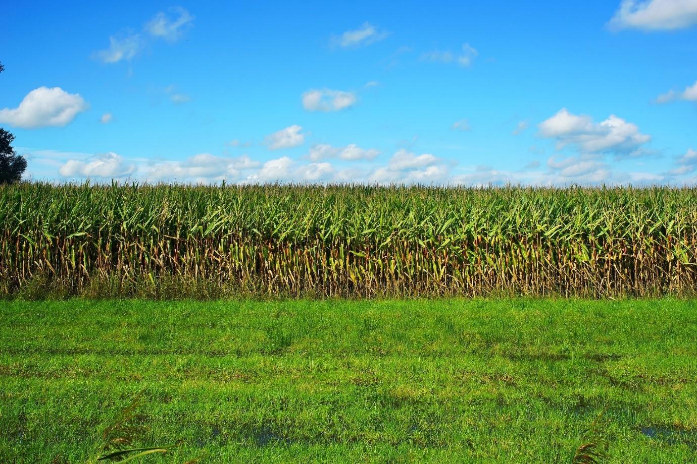 Maize crop field