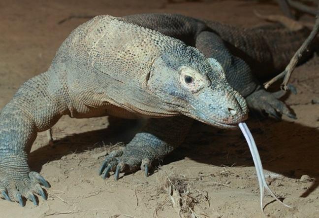 Photograph of Komodo dragon