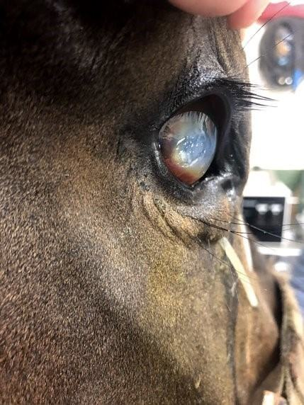 A horse with a severe melting corneal ulcer.