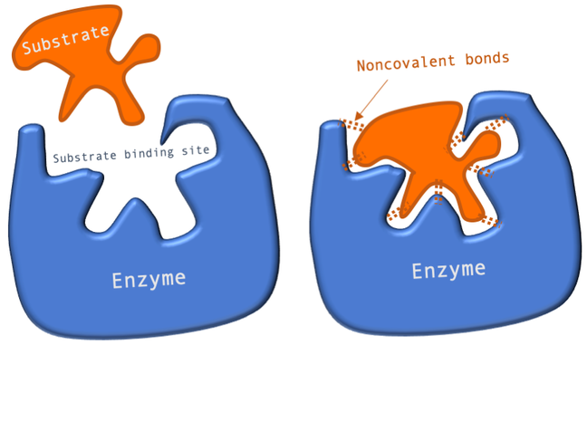 Cartoon illustrating the Lock and Key model of substrate binding which shows two copies of a cartoon enzyme with an opening labelled as the substrate binding site. In the first copy a substrate molecule that is the same shape as the binding site is floating outside the enzyme. In the second copy of the enzyme, the substrate molecule has been fitted in the binding site (like a key in a lock) and is held there by non-covalent bonds