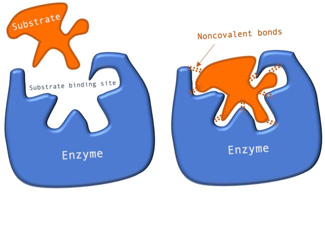 Biology Toolbox  Enzyme