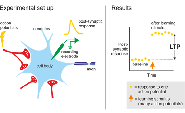 Schematic of an LTP experiment. It shows a drawing of cell body of a post-synaptic neuron and its dendrites. It shows electrode recording synaptic activity and the resulting graph that shows an increase in post-synaptic response after stimulation