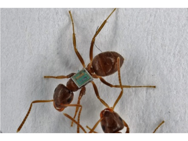 Tagged invasive garden ant