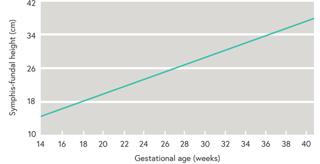 Graph shows how the estimate of foetal gestational age increases from 14 to 40 weeks at a steady rate against increasing symphysis-fundal height measurements of 10 to 42 cm