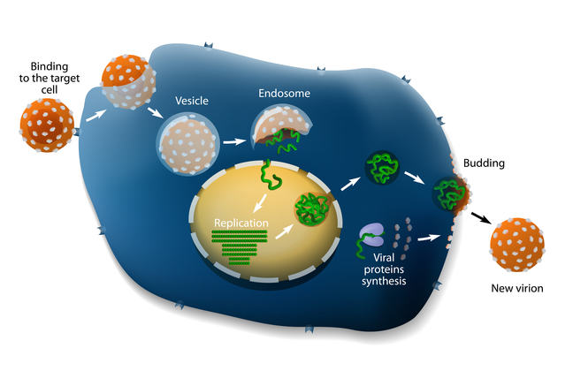 Labelled diagram of the influenza virus: Binding to the target cell, Endosome, Vesicle, Replication, Viral Proteins synthesis, Budding, New virion