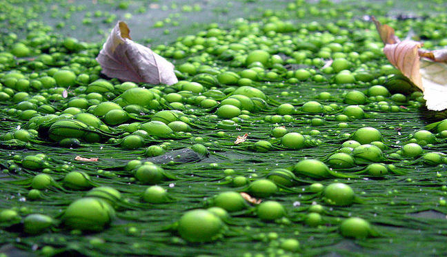 A close up photo of water polluted with green bubbles