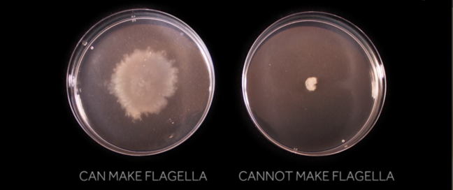 Two plates for comparison purposes- can make flagella, cannot make flagella