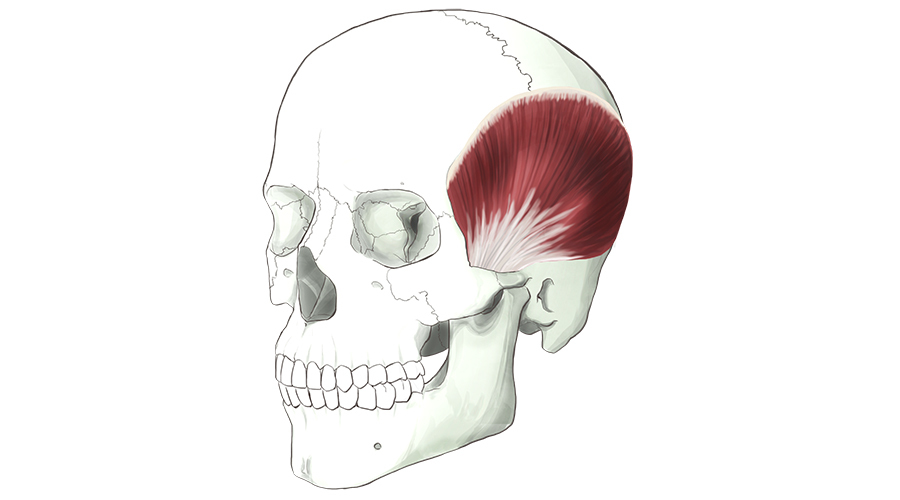 Temporalis. A fan shaped muscle that fills out the side of the head.