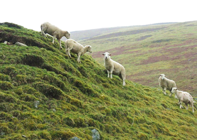 Sheep grazing on a very steep grassy hill with upland scenery in the background