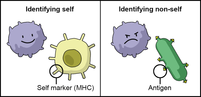 Figure depicting the identification of self and non-self. A self marker (MHC) labels the body's cells as 'self'. An antigen is a molecule that the immune system recognises as 'non-self' and it therefore elicits an immune reaction.