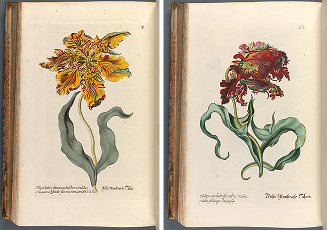 Georg Wolfgang Knorr, *Regnum Florae* (Nuremberg, 1772), i, plates T and T1: Yellow Tulip and Red Tulip. © The Board of Trinity College Dublin.