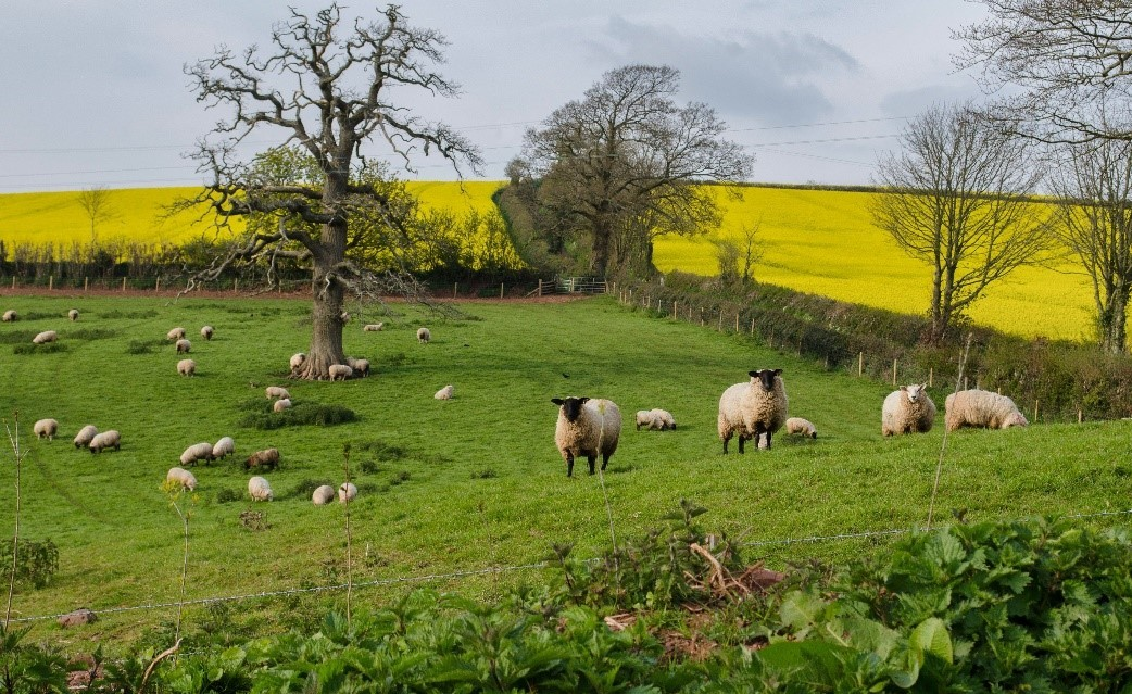 Sheep grazing in a grassy field on a slope, with flatter arable fields growing yellow oil seed rape in the background