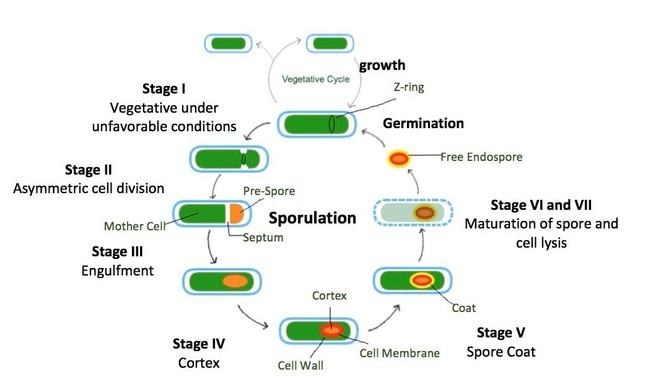 The Bacillus subtilis (Stage I) in vegetative growth is in unfavorable conditions, so it begins the process of sporulation. Examples of unfavorable conditions are an environment that lacks the required nutrients, is too hot, or too cold. Asymmetric (unequal) division occurs from the tightening of the Z-ring (Stage II). The Z-ring is multiple FtsZ proteins assembled into a ring that depolymerizes to cause an inward constriction, which will form the septum that results in two daughter cells. The mother cell, which is the bigger of the two daughter cells, engulfs the pre-spore (Stage III). Next, the cortex (Stage IV) and the coat (Stage V) form around the spore. The cortex is made of peptidoglycan and the coat is composed of several layers of specific proteins. Once the spore is mature, the cell lyses (Stage VI and VII). Thus, a free endospore is formed that can withstand harsh environments. This endospore can later germinate into a vegetative cell.