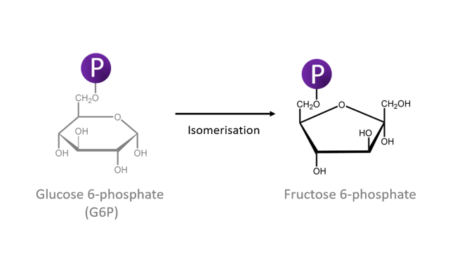 This figure shows Glucose 6-phosphate isomerization to fructose 6 phosphate