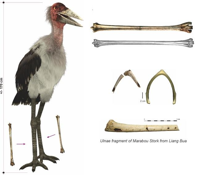 Photograph of Marabou stork and remains