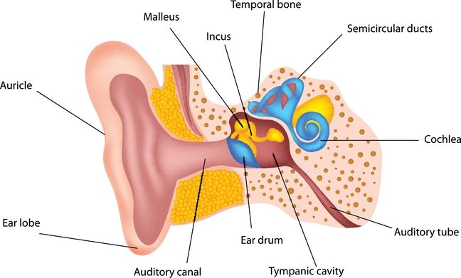 Anatomical model of ear